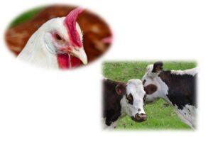 Animal Husbandry SKNAU PDF